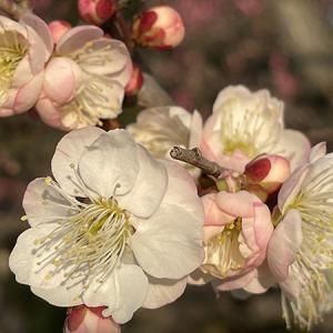 京都梅小路公園の梅の写真100枚位ブログ更新致しました。宜しかったらお運びくださいませ。