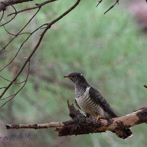 ホトトギス若鳥