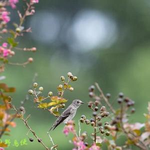 秋鳥エゾビタキ
