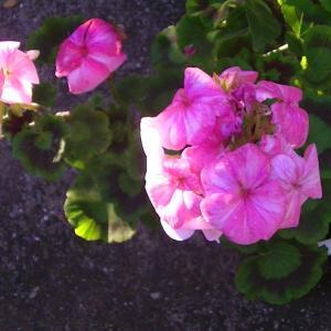 冬にゼラニュウムが咲いて