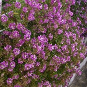 日当たりの良い場所にはネメシアが咲いて
