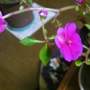 インパチェンスの花や葉が小さくなって