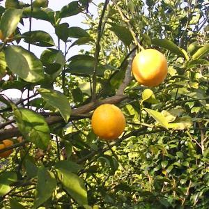近所のレモンの樹で実がいっぱい