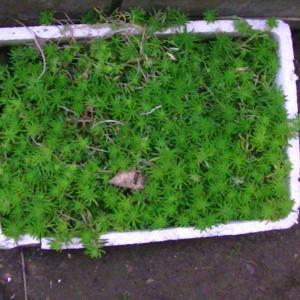 メキシコ万年草が箱いっぱい育って