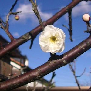 速い梅が開花して