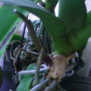 胡蝶蘭の花芽が伸びて、カトレアのシースが見えて