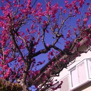 近所の花梅が満開で