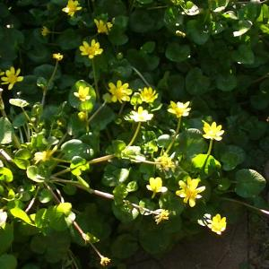 西洋リュウキンカの花ががいっぱいで