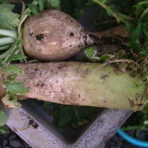 大根とトウダチ菜の収穫して