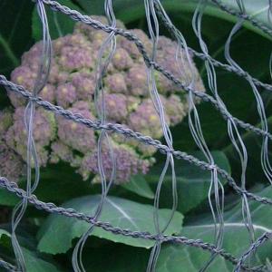 カリフラワーの花蕾ができてきて