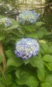 紫陽花に色がついてきて