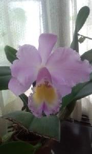 カトレアが開花して