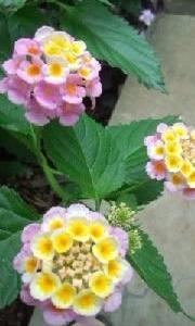 庭のランタナが綺麗に咲いて