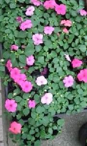 インパチェンスの花がいっぱいに