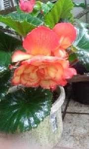 球根ベゴニアに立派な大きい花がついて