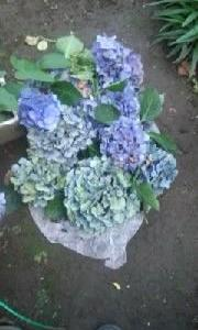 庭の紫陽花の花が終わって