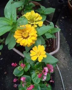鉢植えのジニアの花が2輪増えて