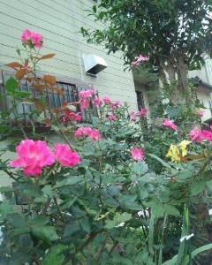 雨の中でもバラが咲いて