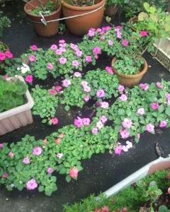 庭のインパチェンスがいっぱい咲いて