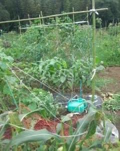 貸農園の草取りときゅうりの苗植えて