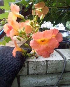 強い風でノウゼンカズラの花が全くなくなりましたが復活で