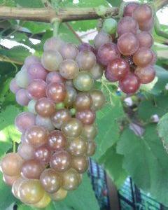 葡萄が色づいてきて