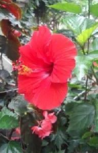 ハイビスカスが赤い大きな花を咲かせて