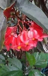 木立性ベゴニアの花が咲いて