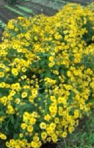 メランポジュウムの花がいっぱい咲いて