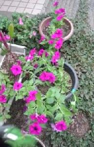 庭の鉢植えサファニアが良いですね