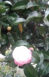 庭の山茶花が咲き始めて