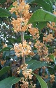 良い匂いの金木犀の花が咲いて
