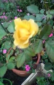 涼しくなり黄色いバラが咲きだして