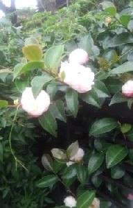 山茶花が本格的に咲きだして