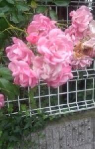 隣では房咲きのバラが咲いて