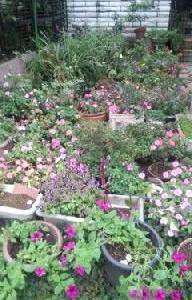 我が家の駐車場は鉢花置場です。