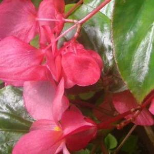 ベゴニアのセンパフローレンスが咲いて