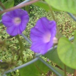 小型の朝顔のようなルコウソウの花が咲いて