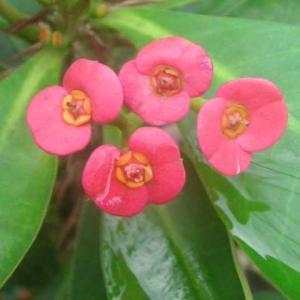 ハナキリンの赤色の花が咲いて