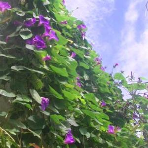 まだまだ琉球朝顔が綺麗に咲いて