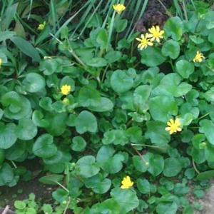 庭の西洋リュウキンカの花蕾が分結して