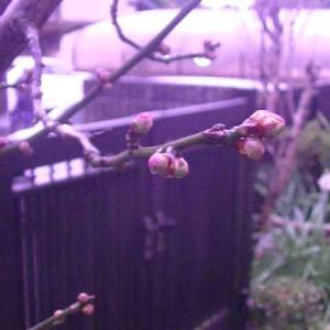 白梅の蕾が大きくなってきました