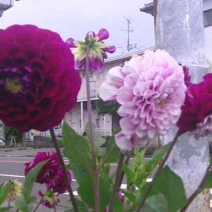 近所のダリアの花が頑張って咲いています。