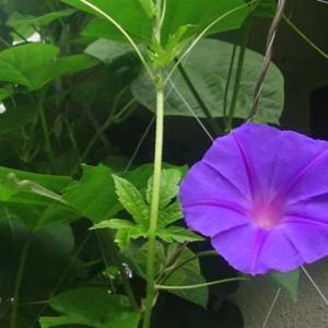 庭の琉球朝顔が咲きだしました