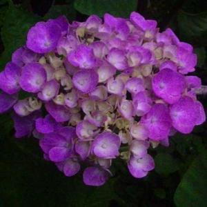 時期が遅いピンクの紫陽花が綺麗です