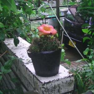 玉サボテンの花が咲いたの?