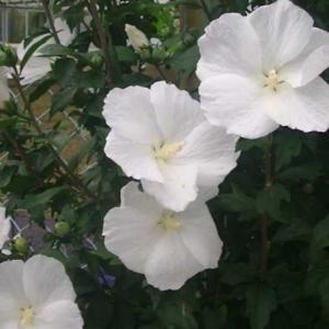 白いムクゲが咲いています