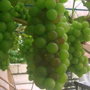庭の葡萄が色づいてきました