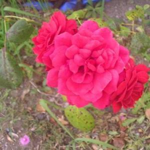 近所の赤いバラが綺麗です