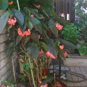 木立性ベゴニアにいっぱい花がついています